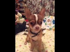 2c47ef399 Choco the Macho Chihuahua...trying to quit saying ugly words.