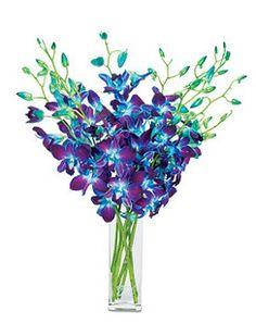 Blue Bombay Dendrobium orchids