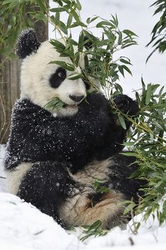 """Perfect Panda World by Josef Gelernter"" Panda In Snow, Panda Love, Panda Panda, Baby Animals, Funny Animals, Cute Animals, Beautiful Creatures, Animals Beautiful, Save The Pandas"