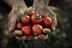 According to a new study published by Washington State University, organic farming may be the solution to solving world hunger sustainably. Chicken Eating, Chicken Feed, Canned Chicken, Organic Farming, Organic Gardening, Pascal Poot, Nightshade Vegetables, Food Safety Tips, Gardens