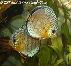 Tefe Green Discus, This is my Dream fish. SO stunning. Big Aquarium, Discus Aquarium, Tropical Fish Aquarium, Discus Fish, Tropical Freshwater Fish, Freshwater Aquarium Fish, Salt Water Fish, Water Animals, Beautiful Fish