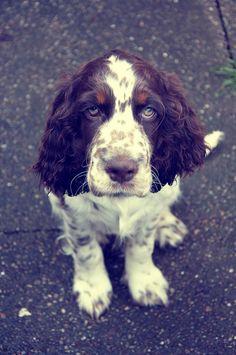 .OMG, the most adorable thing I have ever seen... aside from my own springer spaniel that is :)