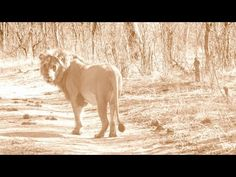 A Day With The Man Who Saves Lions. Check out the video! #NikelaAfrica