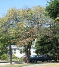 Spotting -- and fighting -- Dutch elm disease Real Estate Articles, Dutch, New Homes, Hairstyles, City, Plants, Design, Haircuts, Hairdos