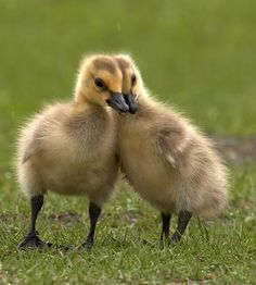 Image detail for -Baby Duck -