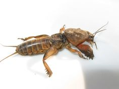 Eliminating Mole Crickets – Information On Killing Mole Crickets Left untreated, mole crickets can become destructive to the lawn. To prevent damage from occurring or getting out of hand, mole cricket elimination is often the only recourse. Learn more here.