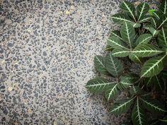Parthenocissus henryana  Armadale - @eckersleygardenarchitecture Plant Leaves, Flooring, Plants, Instagram, Wood Flooring, Plant, Floor, Planets