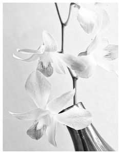 flower photography black and white trio of orchids
