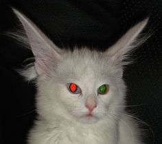 Tapetum lucidum - odd-colored eyes mean different colors of eyeshine for this cat