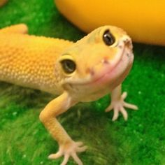 A charmingly happy gecko.   (pinned from buzzfeed)