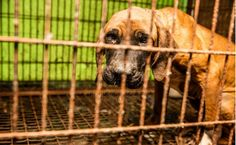No, Dog Meat Is Not A 'Superfood' | Care2 Causes