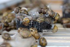 Snails depose their eggs in a box at the snail farm 'La Lumaca Madonita' which produces snail caviar (or escargot pearls), on November 10, 2015 in Campofelice di Roccella near Palermo, Sicily. It has an earthy taste with hints of grass and mushroom: snail caviar is a growing trend in Europe, the delicate white eggs sprinkled on everything from canapes to beef dishes or beetroot. AFP PHOTO / MARCELLO PATERNOSTRO
