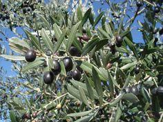 Olives - Olive