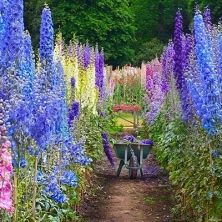 Delphinium Pacific Giants