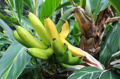 How To Grow Banana Trees In Your Off The Grid Garden Written by: Esther  Survival Gardening July 1, 2013