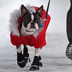 """@edmontonjournal's photo: """"Beatrix, a seven-year-old Boston terrier, looked nice and warm while out for a walk with her owner Catherine Lam in the Cloverdale area in Edmonton on Feb. 12, 2015. Photo by John Lucas / Edmonton Journal #yeg #dogwalk #terrier #bostonterrier #pets #dogs #edmonton"""""""