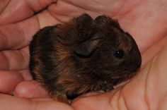 New born Guinea Pig