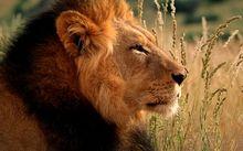 big cat brown Lion Wallpaper