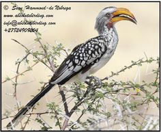 Absolute Birding Home Private birding safaris Pelagics Endemics Dedicated Birding Safaris to see big game Day Trips in and around Cape Town Custom tours Exclusive and customised safaris & tours in Southern Africa Kruger National Park Big 5 Safari Kruger National Park Safari, National Parks, Tourism Marketing, Wildlife Safari, West Coast, Southern, African, Birds, Tours