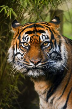 Intensity of a tiger.....
