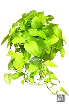 Ideas Plant Tattoo Men Green Man for 2019 Indoor Office Plants, Indoor Plants, Indoor Garden, Pathos Plant, Neon Pothos, Outdoor Tattoo, Ivy Plants, Planting Plants, Plant Tattoo