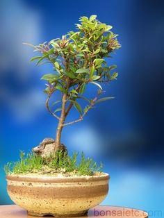 Bonsai de uma árvore cerejeira. Sua simetria transmite harmonia e tranquilidade…