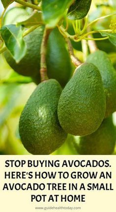 One of the recent staples of modern healthy diets is the avocado. The tasty bowl. - One of the recent staples of modern healthy diets is the avocado. The tasty bowl of guacamole can b - Herbal Remedies, Home Remedies, Natural Remedies, Health Remedies, Natural Treatments, Herbal Cure, Growing An Avocado Tree, Growing Zucchini, Growing Fruit Trees