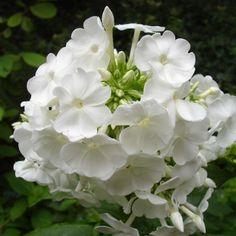 David's Garden Phlox - white, zone 3 perennial we have these in our front garden Moon Garden, Dream Garden, White Flowers, Beautiful Flowers, Serenity Garden, Plant Zones, Midnight Garden, Home Landscaping, White Gardens