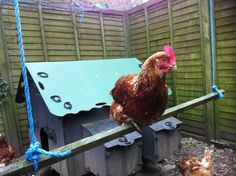 One of my ex battery hens enjoying the new swing I made for them today :-)