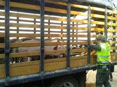 Noticias de Cúcuta: Incautados 843 porcinos en pie y 902 kilogramos de...