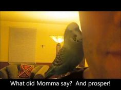 Budgie Parakeet lovers, Eat your heart out!! I found this video of Disco the bird while I was searching for budgies that talk, and he is ADORABLE!!!!