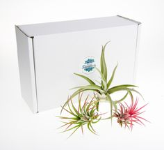 Trio of beautiful Tillandsia Air Plants Gift Boxed for a terrarium, buy online in the UK, Air Plant Selection Pack with 3 plants Succulent Soil, Planting Succulents, Selection Boxes, The Selection, All Plants, Indoor Plants, Terrarium Plants, Roots, Simple