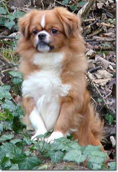 Tibetan Spaniel Love him! Love My Dog, Animals And Pets, Baby Animals, Cute Animals, Pet Dogs, Dog Cat, Doggies, Cute Puppies, Dogs And Puppies