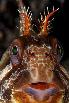 I think this is a Blenny fish.