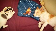 おもちゃに飽きて さぁ寝よかな、と思った頃に いつも丸くて めんどくさいヤツが来る。 なんかニャオニャオ云ってる。 #cat #neko #dog #inu…