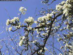 apple_blossom.jpg (2048×1536)