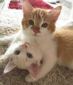 """Mi piace"": 14.9 mila, commenti: 88 - Cute Cats Kittens (@cutecatsco) su Instagram: ""Cute kittens    Photo by @kohmeows  Follow @sosweetcats for amazing cats . . . . .  #goodmorning…"""