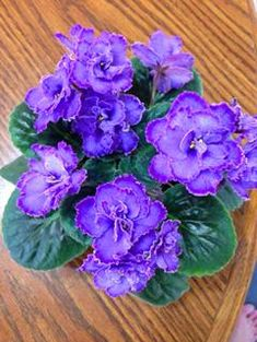100 pcs/bag african violet seeds, bonsai flower seeds for home garden plant Perennial Herb high budding garden flowers seeds