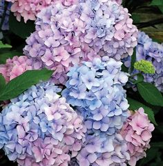 Hydrangea mac Nikko Blue - excellent for a hedge, changes from pink to turquoise blue depending on soil pH