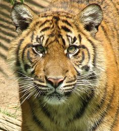 Sumatran Tigers have the most stripes of any Tigers.