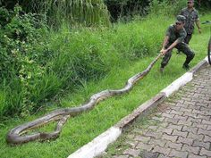 Anaconda Snake facts, fights, size, length and attacks Giant Anaconda, Anaconda Snake, Green Anaconda, Funny Animal Pictures, Funny Animals, Animal Pics, Animal Quotes, Eunectes Murinus, Pantanal