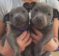 Uplifting So You Want A American Pit Bull Terrier Ideas. Fabulous So You Want A American Pit Bull Terrier Ideas. Cute Puppies, Cute Dogs, Dogs And Puppies, Doggies, Pit Bull Puppies, Puppy Pitbulls, Cute Pitbulls, Chihuahua Dogs, Cute Baby Animals