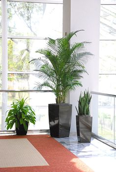 Plant grouping with Kentia Palm, Janet Craig and Snake Plant
