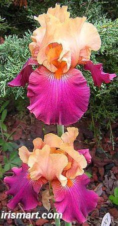 Cherry Glen Tall Bearded Iris