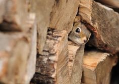 Wood pile squirrel so cute! Baby Animals, Funny Animals, Cute Animals, Wild Animals, Beautiful Creatures, Animals Beautiful, Little Critter, Mundo Animal, Tier Fotos