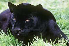 Black_Jaguar_10.15.12