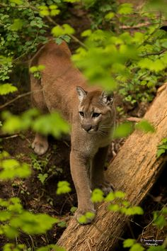 Mountain Lion/Cat, Cougar, Puma, or Screamer; Can All Name the Same Creature. It is a Regional Difference.