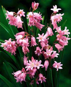 Hyacinthoides hispanica Dainty Maid - Hyacinthoides & Scilla - Flower Bulb Index