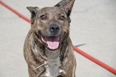 URGENT! THIS DOG WILL BE EUTHANIZED UNLESS A HOLD IS PLACED ON HER BY NOON EST 6/17/14.  LOG IN TO THE AT RISK LIST TO PLACE A HOLD AND SAVE A LIFE.  http://www.nycacc.org/PublicAtRisk.htm  Brooklyn Center  My name is PRINCESS. My Animal ID # is A1001423. I am a female br brindle and white germ shepherd. The shelter thinks I ...