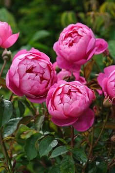 Rosa 'Royal Jubilee' from David Austin with a fruity fragrance said to resemble blackcurrant tea. photo : Howard Rice